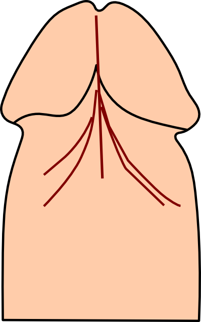 Diagram of frenulum of penis